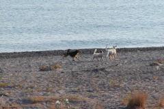 Vilde hunde på Creta,  02.09.2002