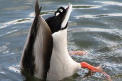 7.  Anderumpe - gråanden er den eneste and med krølle på halen, af 3-4 fjer