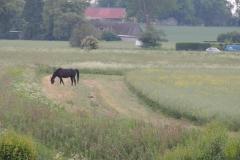 Løssluppen hest i Terslev, 09.06.2013