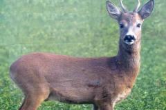 Skive på skydebane anbefaler ren lungekugle - helt uforståeligt og synd for hjortene. 08.05.2009
