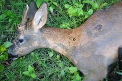 Kugle burde have siddet hér, men dyr døde straks da rygsøjle var beskadiget stærkt af trykbølge, 09.06.2007
