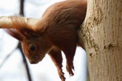 Egern med knækket negl der hviler i Hammer Mølle, 08.04.2020