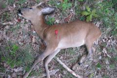 1- årig spidsbuk i Kærhave Skov, CNS-kugle, død i knaldet, 16.05.2009