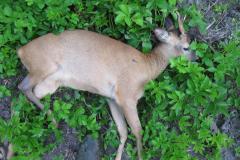 1- årig gaffelbuk i Kærhave Skov, CNS-kugle, død i knaldet, 01.06.2009