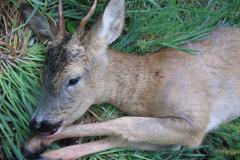 1- årig spidsbuk i Kærhave Skov, CNS-kugle, død i knaldet, 17.05.2007
