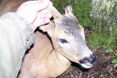 1- årig klein bastbuk, CNS kugle, død i knaldet, Ringsted 01.06.2006