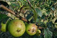 Abild æbler-skovæbler, hjortevildt spiser æbler
