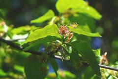Bøg - blomstrende gren