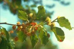 Bøgetræets blomster