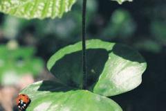Bøgs kimblad - råvildts foretrukne spise i foråret