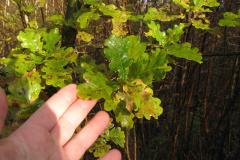 Egetræsblade, 31.10.2007