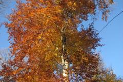Bøgetræ, 31.10.2007