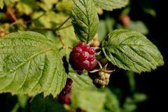 Hindbær - råvildt spiser disse