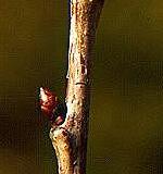 Knop fra Fuglekirsebær
