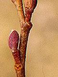 Knop fra Rød el