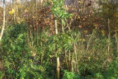 Lille asketræ, 31.10.2007 - råvildt elsker askeskud og knopper