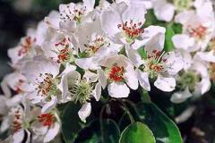 Pæretræ blomst