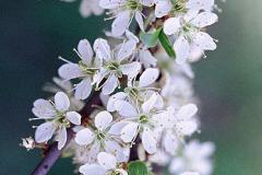 Slåen blomster