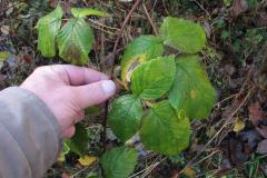 Vintergrønne blade,31.10.