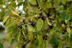 Vrietorn frugter