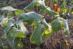 Vintergrønne blade, 11.11.2007